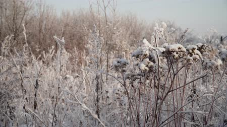 stonky : stalks grass and plants covered with snow and hoarfrost. winter landscape branches covered by snow Dostupné videozáznamy