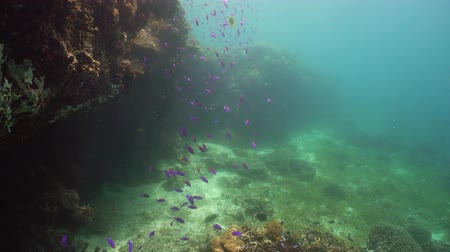 descobrir : Tropical coral reef. Underwater fishes and corals. Camiguin, Philippines.