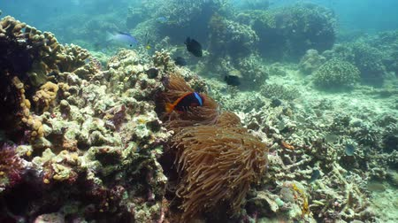 pez payaso : Sea anemone and clown fish on coral reef, tropical fishes. Underwater world diving and snorkeling on coral reef. Hard and soft corals underwater landscape Archivo de Video