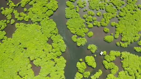 swamps : Aerial view of rivers in tropical mangrove forests. Mangrove landscape, Siargao,Philippines. Stock Footage