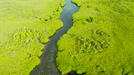 siargao island : Mangrove rainforest with green trees in the sea water, aerial view. Tropical landscape with mangrove grove.