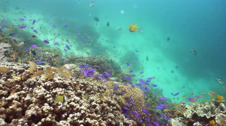 descobrir : Underwater fish reef marine. Tropical colorful underwater seascape with coral reef. Camiguin, Philippines.