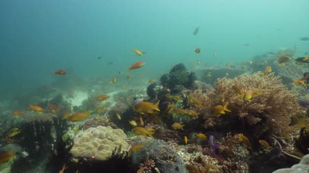 coral garden : The underwater world of coral reef with fishes at diving. Coral garden under water, Philippines, Camiguin. Stock Footage