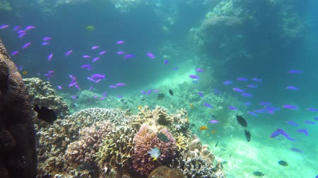 keşfetmek : Tropical coral reef seascape with fishes, hard and soft corals. Underwater video. Camiguin, Philippines. Stok Video