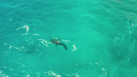 cebu : Whale shark in blue water in the open sea from above. Whale shark in the wild wildlife. Philippines,Oslob, Cebu.