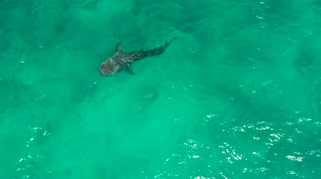 кит : Aerial view of whale shark swims in the open sea. Whale shark in the wild wildlife. Philippines,Oslob, Cebu.