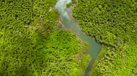 siargao island : Mangrove trees in the water on a tropical island. An ecosystem in the Philippines, a mangrove forest. Stock Footage