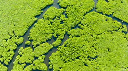 mangrovie : Aerial panoramic mangrove forest view in Siargao island,Philippines. Mangrove landscape