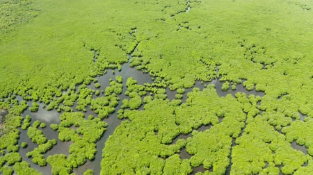 mangue : Mangrove green forests with rivers and channels on the tropical island, aerial drone. Mangrove landscape.