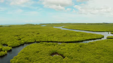 siargao island : Mangrove green forests with rivers and channels on the tropical island, aerial drone. Mangrove landscape.
