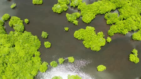gyertyafa : River in tropical mangrove green tree forest top view. Mangrove jungles, trees, river. Mangrove landscape