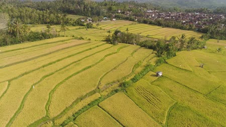 холм : agricultural land and rice fields in Asia. aerial view farmland with rice terrace agricultural crops in countryside Indonesia, Bali. Стоковые видеозаписи