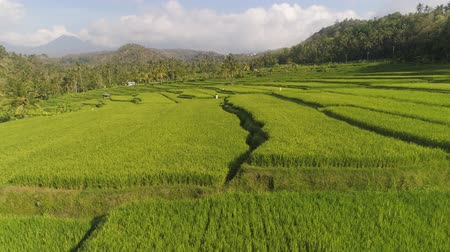 terra : green rice terraces, fields and agricultural land with crops. aerial view farmland with rice terrace agricultural crops in countryside Indonesia,Bali