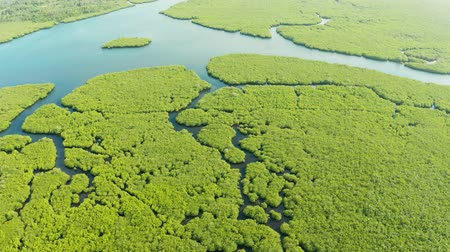 mangrove trees : Mangrove trees in the water on a tropical island. An ecosystem in the Philippines, a mangrove forest. Stock Footage