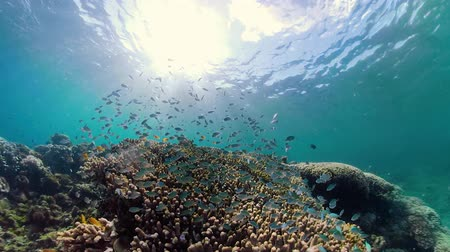 coral garden : Tropical fishes and coral reef, underwater footage. Seascape under water. Camiguin, Philippines.