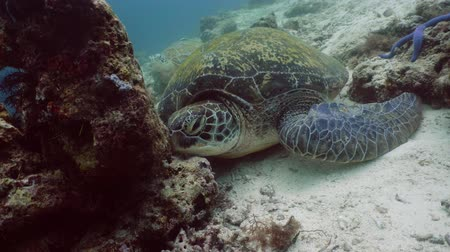 palmes : Green sea turtles underwater among corals. Wonderful and beautiful underwater world.