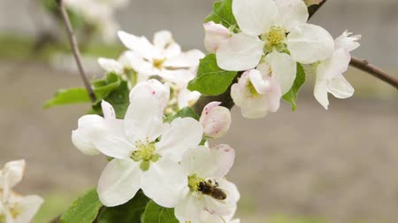 damascos : Flowering apple close-up. Flowers are shaking in the wind. Fresh spring background Stock Footage