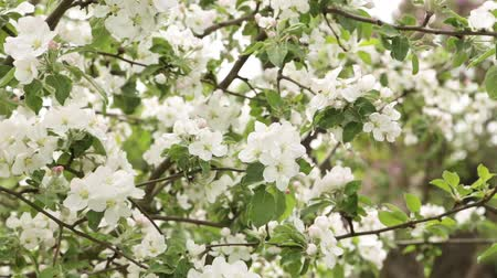 Flowering apple close-up. Flowers are shaking in the wind. Fresh spring background Stock Footage
