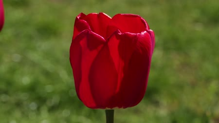 red tulip grows in the garden, against the background of greenery