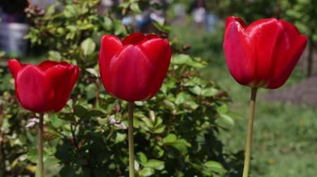 three red tulips grows in the garden, against the background of greenery