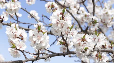 абрикосы : Tree apricots blossoms against the blue sky, spring day. Fresh spring background