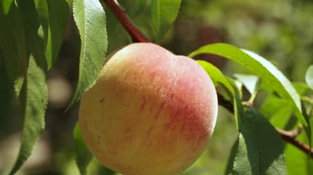 rozmazaný : Ripe peaches on a branch in the garden among the leaves