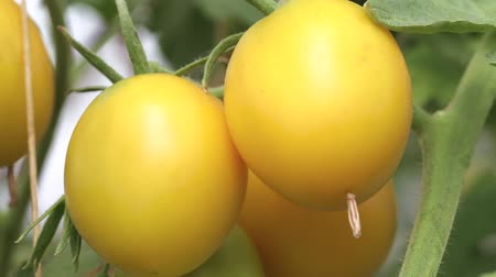ekili : ripe yellow tomatoes on a branch among the leaves, the first summer harvest