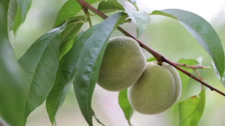 unripe : Green peaches on a branch among fresh foliage, close-up Stock Footage