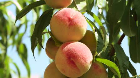 brzoskwinie : Ripe peaches on a branch in the garden among the leaves