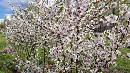 Вишневое дерево : blossoming cherry tree in spring in the garden. many small flowers on the branches
