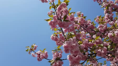 sakura blooming pink flowers against the blue sky. romantic spring background