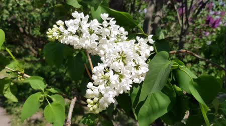 White lilac blooms on a lush bush with green foliage. season flowering lilac
