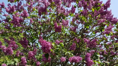 scented : Purple lilac blooms on a lush bush with green foliage. season flowering lilac