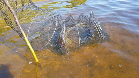 fisher : A mesh with a caught fish in the river. sport fishing. fishing for feeder