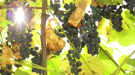 blue grapes grow on a branch in the garden. home winemaking