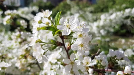 blossoming cherry tree white flowers in the garden, spring fresh background