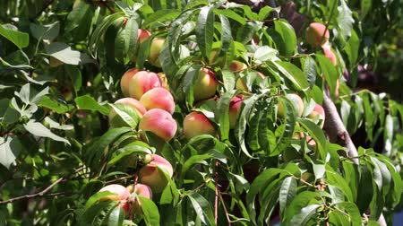 a lot of ripe peaches on a branch among the lush green foliage in the garden