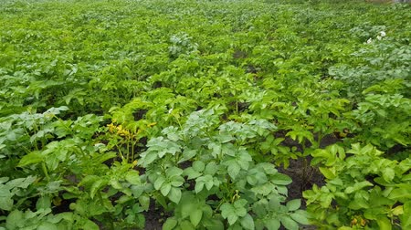 пюре : potatoes grow in the garden greens. cultivation of vegetables on the farm Стоковые видеозаписи