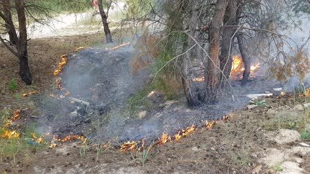 bush fire : the beginning of a fire in the forest, dry grass and needles burn under the trees. ecological catastrophy. careless handling of fire in the forest Stock Footage