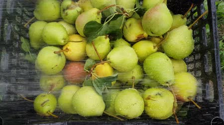 The harvest of pears in a plastic container is washed from the hose. Fruit growing on the farm Stock Footage