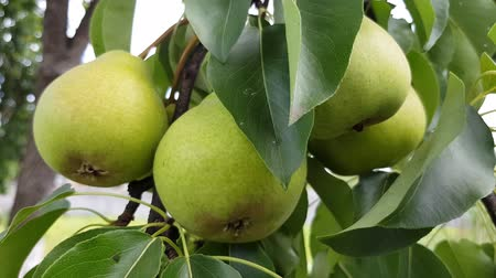 green pears grow on a branch. fruit harvest in the home garden