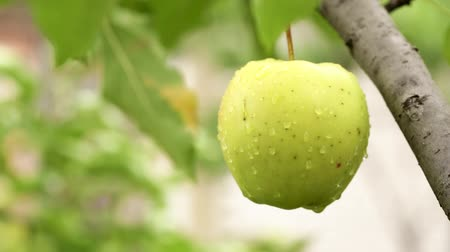 enforcamento : Young apples ripen on a branch among the green foliage. Fruit growing on the farm