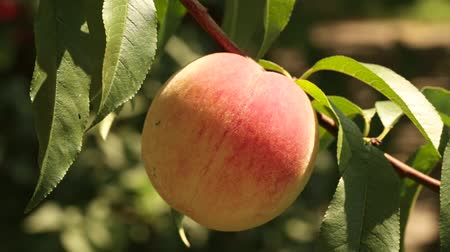young green peaches are ripening on a branch. Fruit growing on the farm