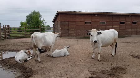 White well-groomed cows with calves in a fencing at the zoo Стоковые видеозаписи