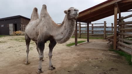 býložravý : a two-humped camel walks behind a fence at the zoo