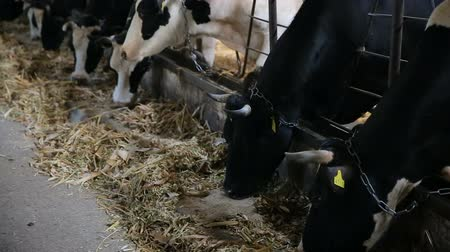 yem : A lot of cows are eating fodder in the cowhouse
