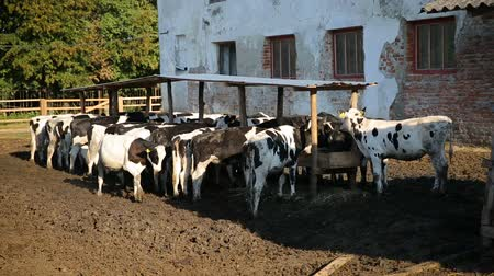 vitela : Calves feeding process on rural farm. Cows feeding on milk farm. Cows on dairy farm eating hay. Cowshed.