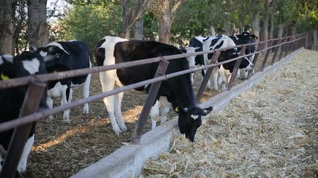 pastar : Cows feeding process on modern farm. Close up cow feeding on milk farm. Cow on dairy farm eating hay. Cowshed