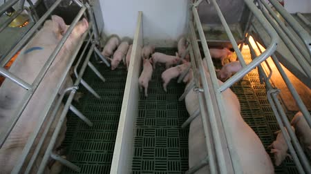 population explosion : Piglets on an modern industrial pig farm Stock Footage