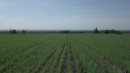 závod : New shoots of a winter wheat on a spring field.